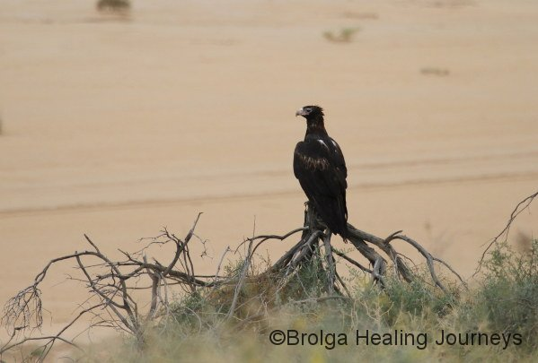 Adult Wedge-tailed Eagle (darker colour)