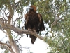 The juvenile Wedge-tailed Eagle puffs up its plumage.
