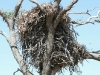 Close-up of Wedge-tailed Eagle nest