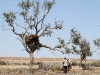 Nirbeeja and Tess collect pellets beneath a Wedge-tailed Eagle nest near Lake Mia Mia.