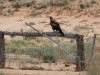 Wedge-tailed Eagle near our cottage.  Juvenile with reddish-brown plumage.