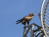 Junvenile Wedge-tailed Eagle high up on the radio-tower near the homestead.