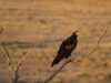 Adult Wedge-tailed Eagle.