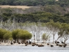 Australian Shelducks on Birchmore Lagoon, near the Kangaroo Island Lavender Farm