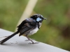 A male Superb Fairy Wren, moulting, at Kangaroo Island Lavender Farm
