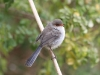 Female or juvenile Superb Fairy Wren, Kangaroo Island Lavender Farm