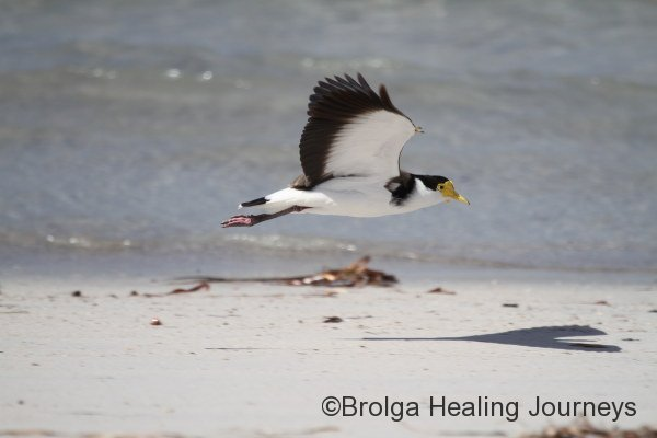 Masked Lapwing at Emu Bay