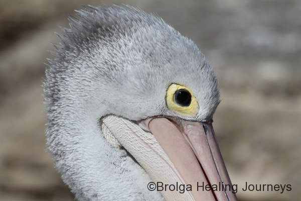 Close up of Pelican