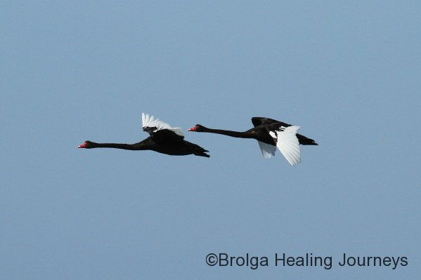 Black Swans in flight at Emu Bay