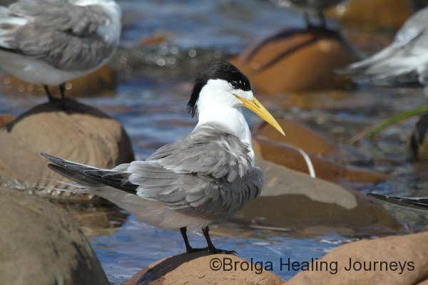 Now that's a mullet! Crested Tern at Emu Bay