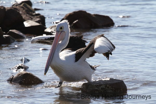 A juvenile Pelican returns after a successful spot of fishing.  It was very pleased with itself!