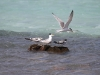 Jostling for space! Crested Terns at Emu Bay