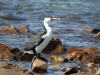 Pied Cormorant at Emu Bay