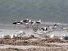 Banded Stilts, Silver Gulls and Crested Terns at Emu Bay