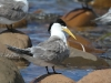 Now that&amp;#039;s a mullet! Crested Tern at Emu Bay