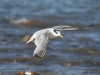 Crested Tern in flight at Emu Bay.  Elegant birds in the air