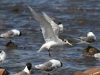 Crested Tern landing at Emu Bay