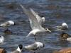 Crested Tern landing at Emu Bay