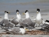 A meeting of Crested Terns, Emu Bay