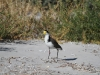 Masked Lapwing, Emu Bay