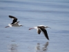 Beautiful Banded Stilts in flight at Emu Bay