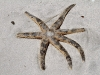 Starfish (alas dead) washed up on beach at Emu Bay