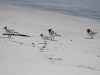 Hooded Plovers on Emu Bay. The pale headed ones are juveniles, a great sight indeed
