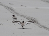 Hooded Plovers landing on Emu Bay beach.  The tyre tracks give a hint of some of the problems facing this species; they nest along beaches
