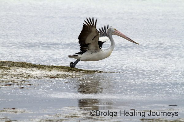 A Pelican takes to the air, near Kingscote