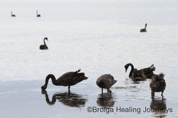 Black Swans at low tide near Kingscote