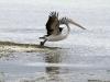 A Pelican takes to the air, near Kingscote