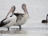 Pelicans and Swan, near Kingscote