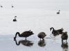 Black Swans at low tide near Kingscote