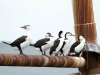 Pied Cormorants on Kingscote jetty