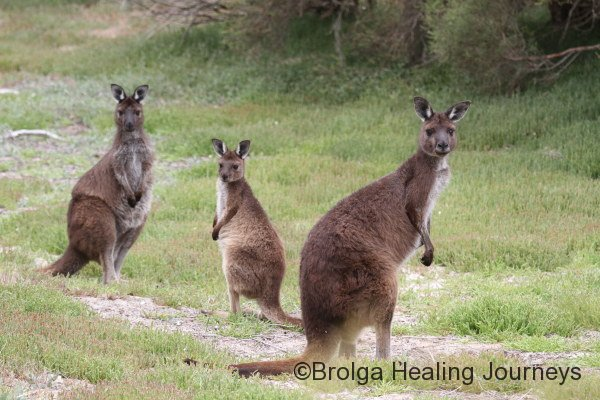 A family of Kangaroo Island kangaroos, a sub species of Western Grey Kangaroos, at Murray Lagoon