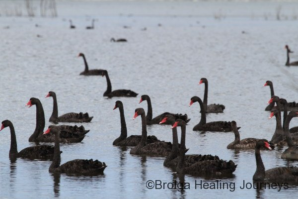 Plenty of Black Swans at Murray Lagoon