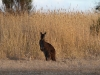 Kangaroo near our campsite at Murray Lagoon