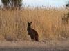 Kangaroo near our campsite at Murray Lagoon