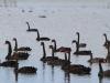 Plenty of Black Swans at Murray Lagoon