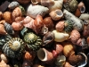 A selection of shells from Wheatons Beach, Cape Gantheaume