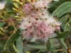 A cluster of eucalypt blossums