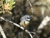 Grey Fantail near our campsite