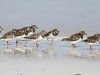 Ruddy Turnstones on Wheatons Beach