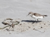 A Sanderling on Wheatons Beach
