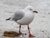 Silver Gull