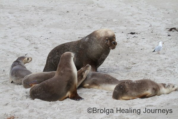 Group of Australian Sea Lions at Seal Bay.  They are ungainly on land but elegant in the water.