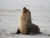 An Australian Sea Lion at Seal Bay.  Looking cute