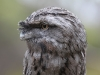 Tawny Frogmouth at Raptor Domain