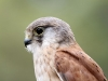 Nankeen Kestrel at Raptor Domain