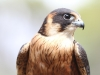 An Australian Hobby at Raptor Domain